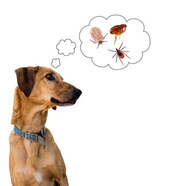A dog thinking about fleas and ticks.