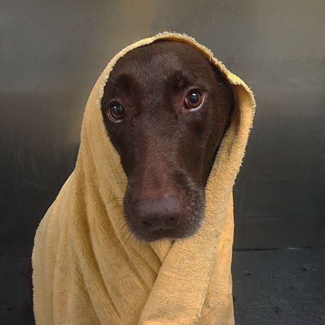 Chocolate Labrador Retriever finished with a bath